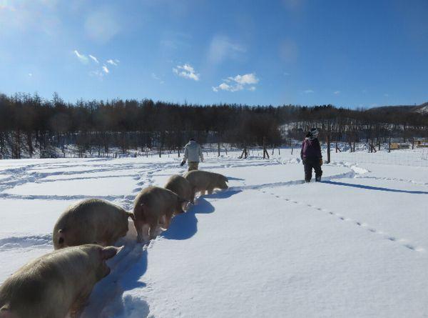 放牧養豚にふさわしい場所と豚の種類選び