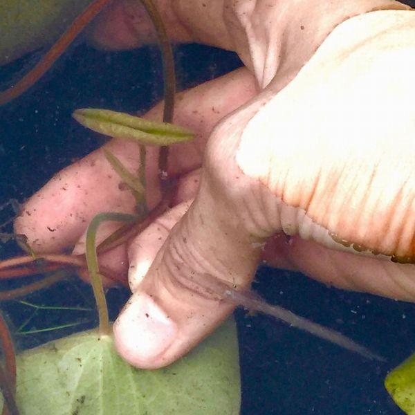 親指の爪をじゅんさいの茎に当て、人差し指の第一関節と上手く挟んで摘み取ります