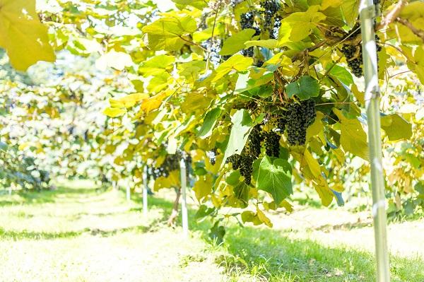 """国産ワインコンクールで2年連続受賞""""山葡萄ワイン""""が復興の希望に"""