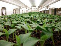 野菜苗メーカーの担当者に聞いた! 計画生産と苗づくり最前線