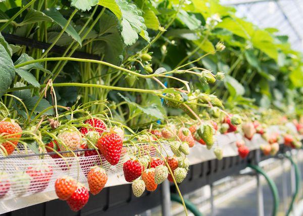 30年以上の愛用者も「エコバイオグリーン」はイチゴ農家に大人気