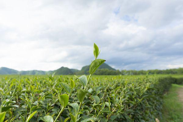 ジャポニカ米は、元々日本に自生していたのです。つまり、日本の気候風土に合った植物なわけですから、極端なことを言えば田植えの時期さえ間違えなければ自然に育ちます。