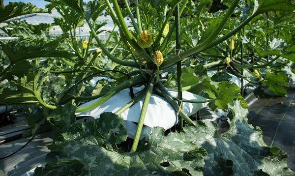 「袋栽培」をベースに栽培ノウハウを明確化