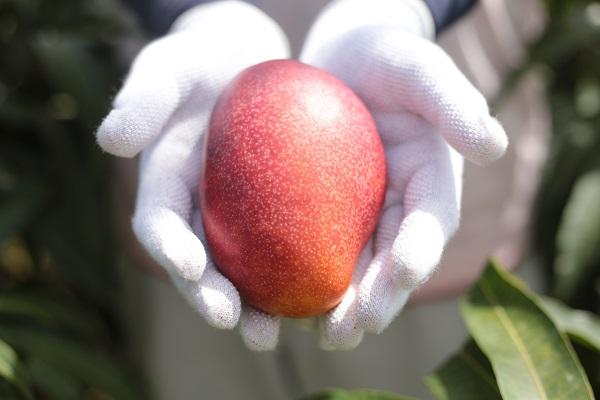 """マンゴーや""""森のアイスクリーム""""と呼ばれる果実「アテモヤ」などを栽培する、沖縄県糸満市にある「かんな農園」"""