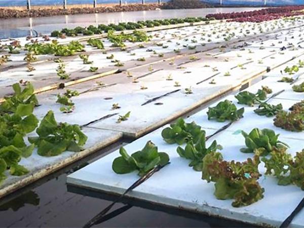 水田があればすぐできる!世界初の水耕栽培「EZ水耕」