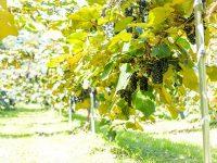 山ぶどうワインで震災復興!岩手県・野田村「涼海の丘ワイナリー」の軌跡
