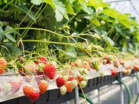 イチゴ農家が注目「農薬を減らして元気な作物を作る」微生物活用法
