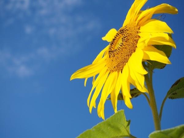 【旬花】夏を連れてくる花「ひまわり」