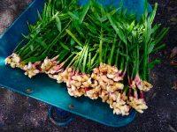 神話の国の伝統野菜を守る 脱サラして出西生姜の栽培を継承する農家【ファームジャーニー:島根県出雲市斐川町】