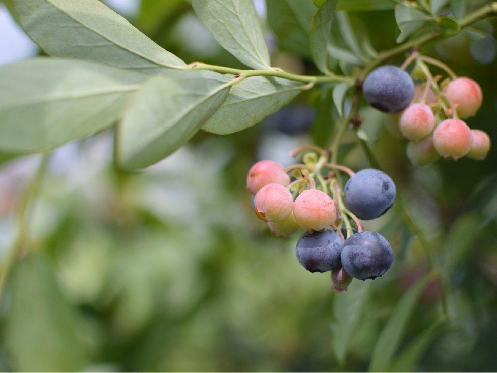 ブルーベリー栽培発祥の地から生まれた地産地消スイーツでまちおこし