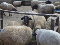 良質な肉へのこだわりは、羊が生まれた意味を最大化するため。羊の畜産で、取り組んだ証を残したい。