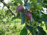 ITを駆使して儲かる農業を実現する。手作業が多いリンゴ農家だからこそすべきこと。