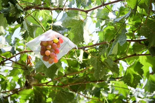 ブドウの栄養成分