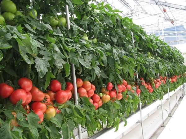 販売価格が高い9月から11月に出荷 トマトのハウス栽培「ヒートポンプ技術」活用例