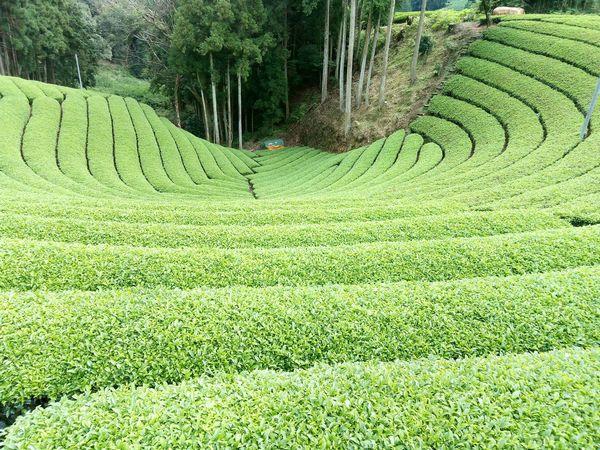 「宇治茶畑で絶景ハイキングツアー」を実施 茶農家の狙いと成果
