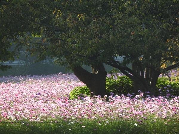 【旬花】可憐な秋の桜 コスモス