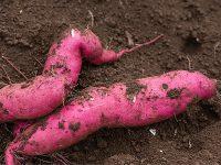なぜ川越はサツマイモの産地になった?