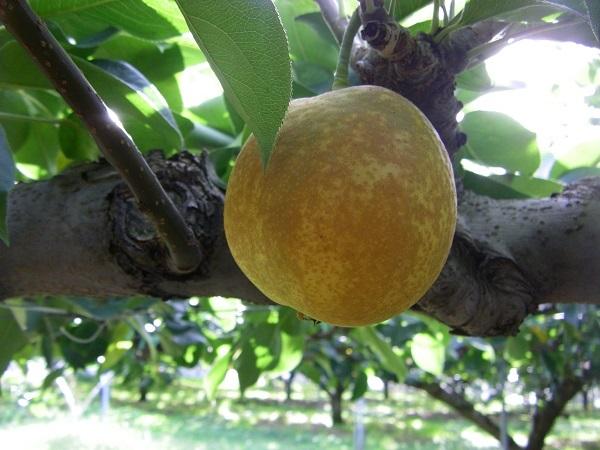 売切れ続出の梨「あいみ燦ゴールド」に学ぶ 商標の活用法と登録方法