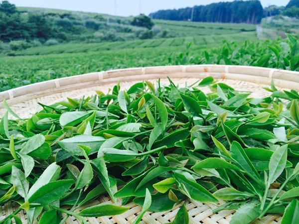 国産茶葉からつくる「地紅茶」の魅力を発信「全国地紅茶サミット」開催