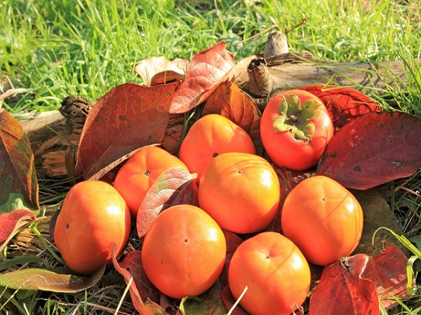 柿が赤くなれば医者は青くなる 影の実力者!秋の味覚 柿のヒミツ