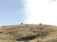 島民の土地を共同管理して行う放牧 島全体で牛を飼う、知夫里島
