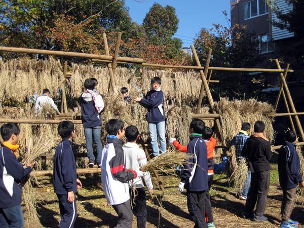 東京のど真中で脱穀機が唸る 筑波大附属駒場中高校の米づくり:脱穀編