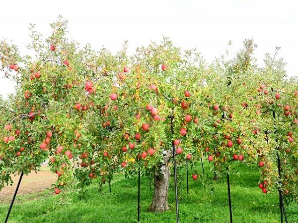リンゴの蜜