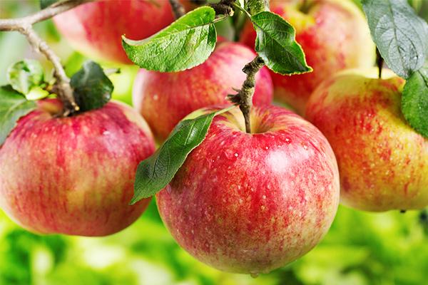 おいしいリンゴの見分け方
