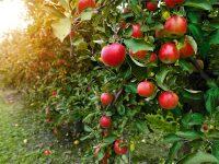 リンゴの栄養や保存法 ~おいしいリンゴの見分け方~【果物ガイド】