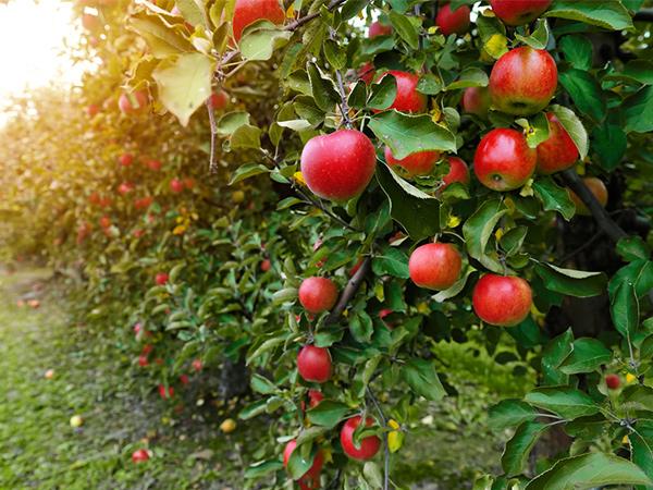 リンゴの栄養や保存法~おいしいリンゴの見分け方~【野菜と果物ガイド】