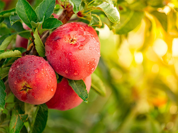 ふじ・つがる・王林・ジョナゴールド~おいしいリンゴを徹底比較~【野菜と果物ガイド】