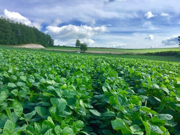 美瑛町の大豆畑