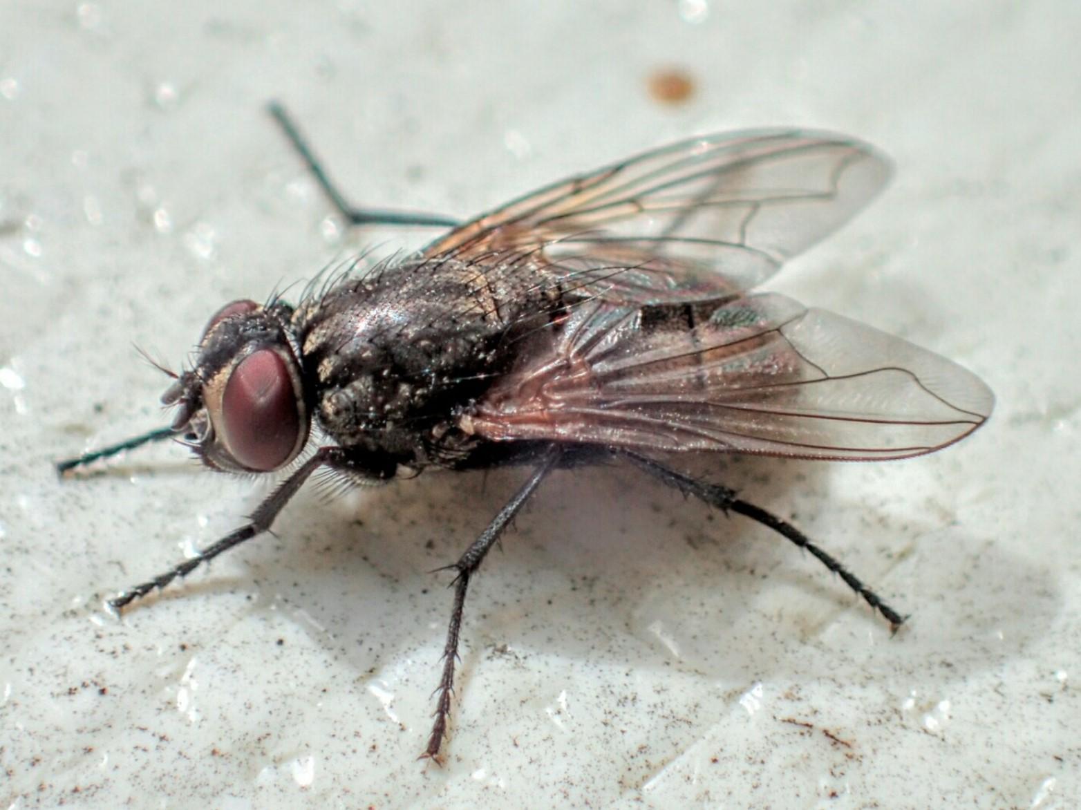 ハエが世界を救う?「イエバエ高速培養技術」が今年度実用化へ