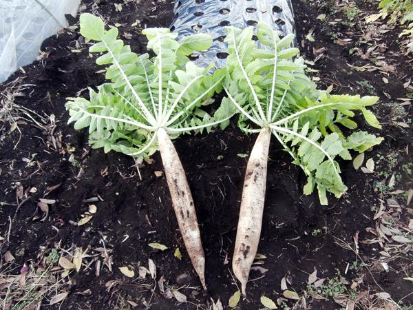絶滅寸前の高倉ダイコン復活 未来へ向けて再生する江戸東京野菜