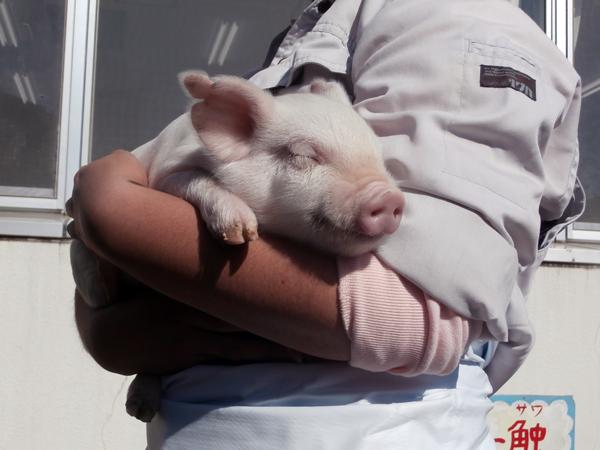 畜産する都立高校 覚悟を持って動物に愛を注ぐ畜産科学科の実習