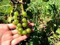 耕作放棄地で地域おこし「南三陸ワインプロジェクト」