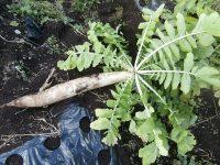 伝統野菜に宿る遺伝資源 育て食べて命をつなぐ