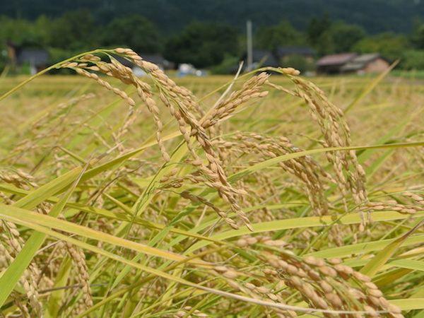 トキが佐渡島の農家をひとつに「佐渡米100%減農薬栽培」実現への道のり