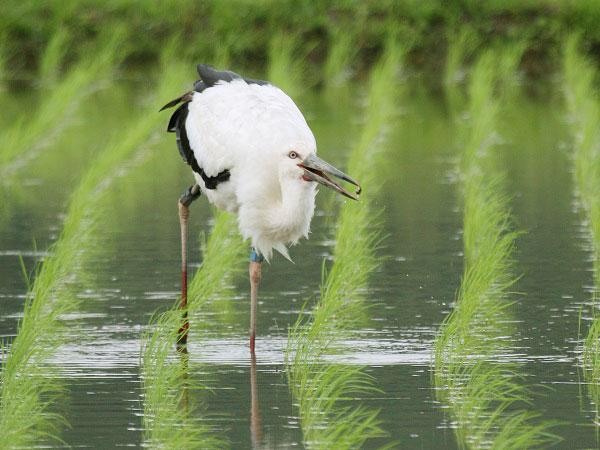 絶滅から野生復帰へ 兵庫県豊岡市の「コウノトリ育む農法」とは