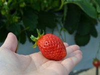 東京産のイチゴが食べられる加藤農園。今年も直売を実施【前編】