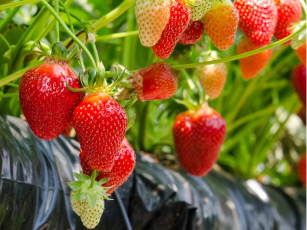 家庭菜園でも役立つ!おいしいイチゴを作る際の注意点【病害虫対策ガイド】