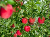 リンゴやニンニクだけじゃない! 青森県の伝統野菜と農産物【47都道府県の地域食材】