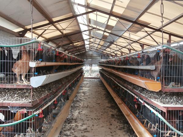 江戸っ子が惚れた鶏が蘇る 農と食の仕事人の傑作・東京しゃも開発秘話