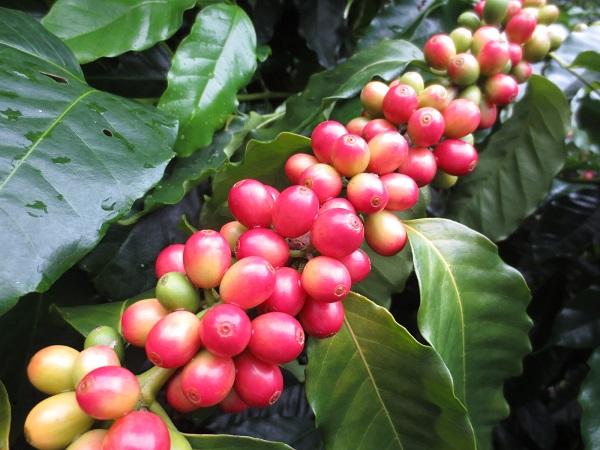 小笠原諸島のコーヒー栽培事情。野瀬農園で採れる年間200kgのコーヒー豆