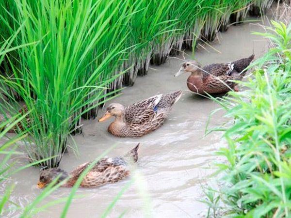 合鴨農法で育てた有機玄米で作る「国産の本格的オーガニックコスメ」とは