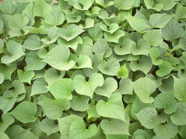 夏場の葉野菜になる!? 茎葉がおいしく食べられるサツマイモ「すいおう」
