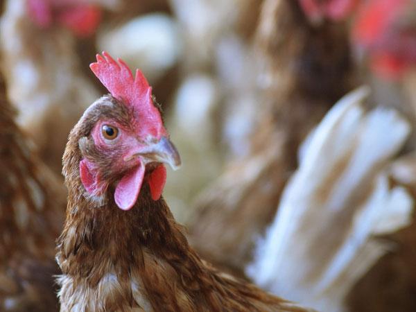 「高病原性鳥インフルエンザ」から農場を守るためにできること
