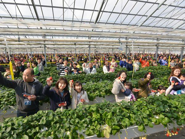 232軒のイチゴ農家を救え!宮城県亘理町ギネス挑戦で震災復興へ