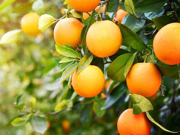ビタミン補給におすすめ!オレンジの栄養と見分け方【野菜と果物ガイド】