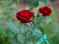 【元気な農作物育成ガイド】写真で症状確認!バラを家庭で栽培する際の対策と注意点